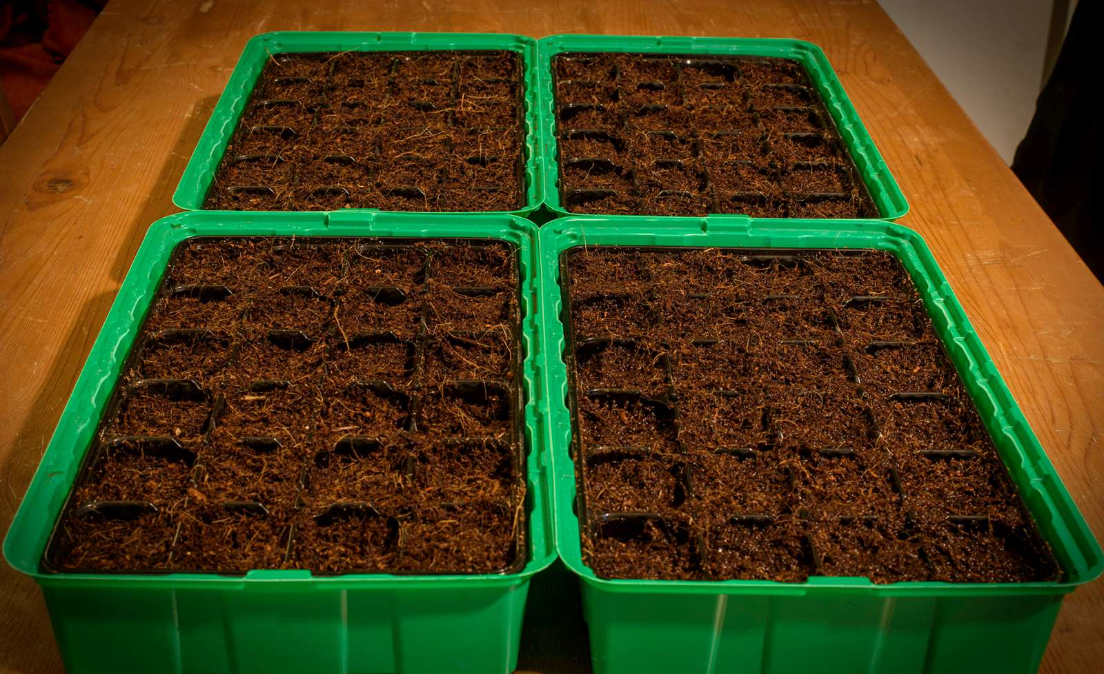 Freshly germinated seeds getting ready for action